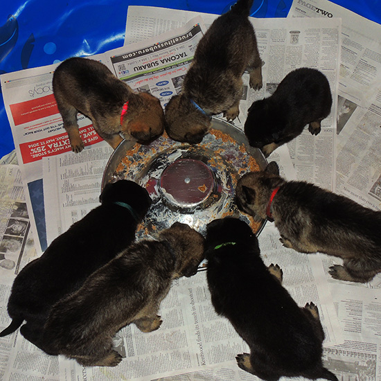 Trina Hurican F Litter 27 days old