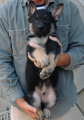 Bara Hurican J Litter Blue collar male 7 wks