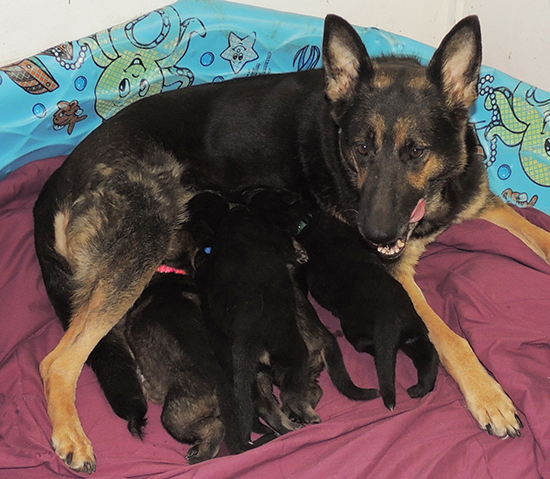 Bara Norbo Den Lu Y Litter 19 days