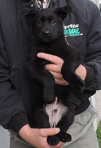 Bara Norbo DL Blk Male green collar 8 wks