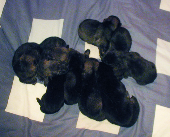 Helga Lobo pups 12 days old