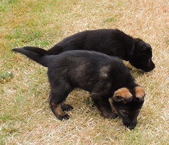Hetja Gerry M Litter royal blue sable and blk collar blk male