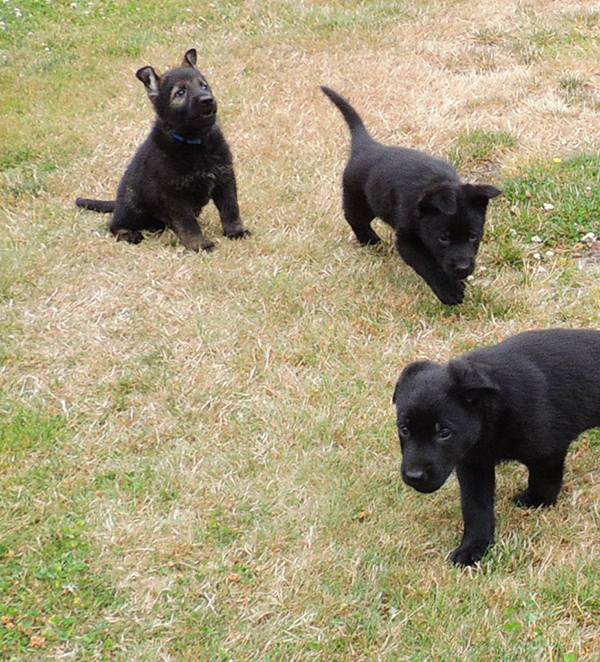 Hetja Gerry M Litter males royal blue sable and black males