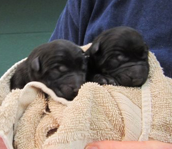 natasha x Buzz 1st litter_Blk Females
