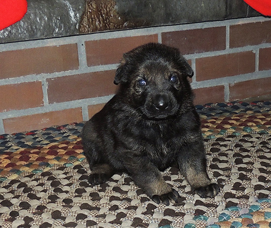 Qash Norbo W Litter Red Collar Male 20 days
