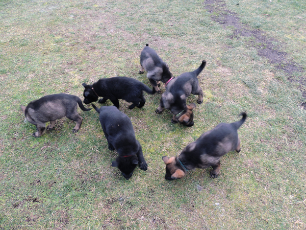 Itti Lux E Litter 7 wks tracking imprinting hunt for food
