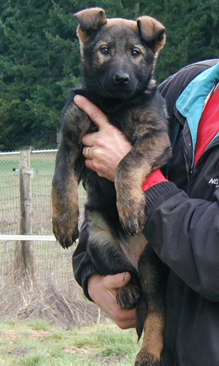 Yumi Lord red collar blk sable female