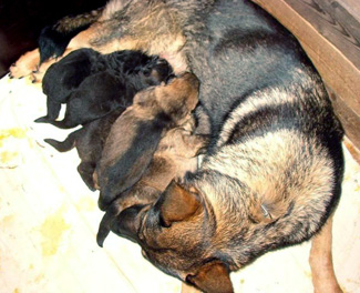 Molly's 1st litter Germany