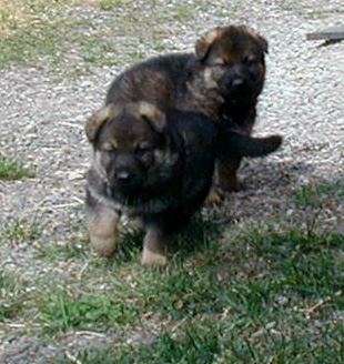 Loly Sable girls 4 wks